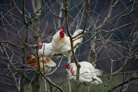 Chickens sit in a cherry tree at a farm in Ibach